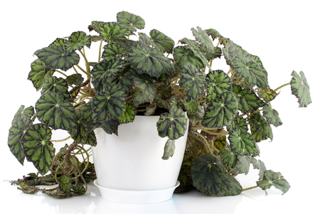 begonia: Begonia flower in a white Pot on a white background