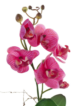 beautiful flowers: Pink Orchid with buds isolated on a white background