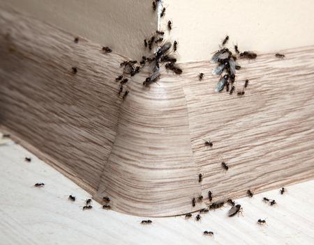 ant: Hormigas en la casa en el ángulo de la pared y zócalos Foto de archivo