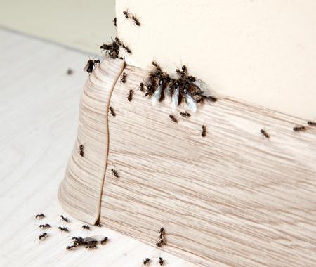 Ameisen im Haus auf den Sockelleisten und Wandwinkel Standard-Bild