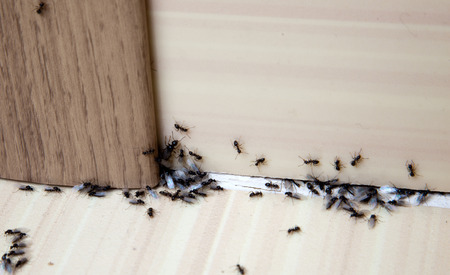 Ants in the house on the baseboards and wall angle
