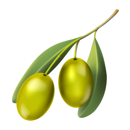 Olive branch with green berry, isolated on white background. Illustration vector