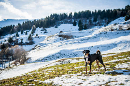 appenzeller: An Appenzeller dog standing in Alps