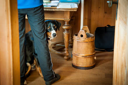 appenzeller: A Swiss appenzeller dog with curious look. Stock Photo