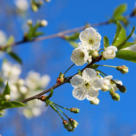 blu sky: The flower of apple in blossom, Ukraine Stock Photo