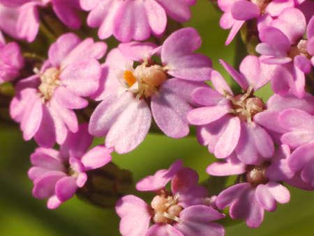 yarrow: Yarrow blooms