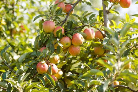 Red apples in a garden. Stock Photo