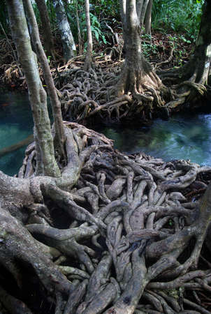 Twisted roots of mangrove trees surround river