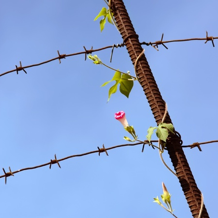 despite: Flower grows despite of the barbed wire
