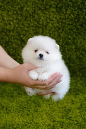 Little puppy. Pomeranian spitz-dog