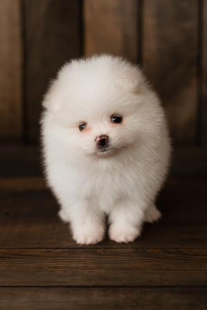 Little Pomeranian spitz-dogpuppy.It can be used as a background Stock fotó