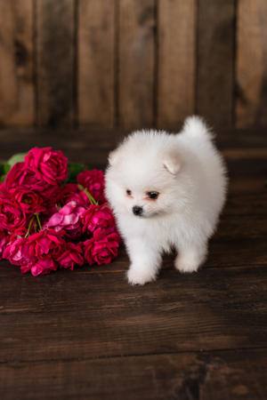 Little Pomeranian spitz-dogpuppy.It can be used as a background Stock Photo