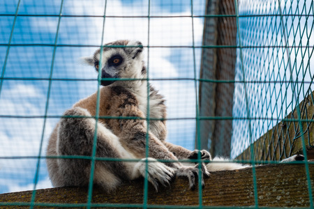 Ring-tailed lemur catta. Single Lemur staring directly at camera Imagens