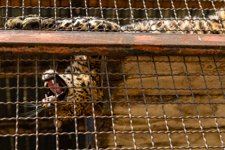 Panthera pardus, Portrait of the Indian leopard, in a zoo in the open-air cage on the top Stock Photo