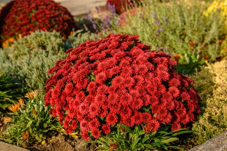 Chrysanthemum flowers bloom in autumn in the flower garden. Beautiful colors chrysanthemum flowers close up Фото со стока