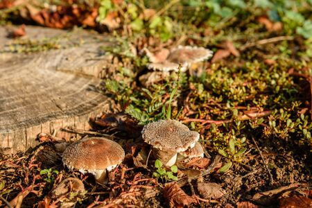 False mushrooms on an old stump in the woods. Mushroom in a forest