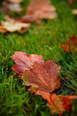 Autumn maple leave on grass closeup. Blurred background. Sunny day in the park Фото со стока