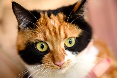 Japanese bobtail domestic cat looks into camera lens. Tortoise cat with green eyes