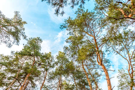Tall beautiful trunks of pines in the autumn forest against the background of a bright blue sky. Autumn time
