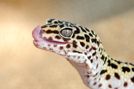Eublepharis. Close-up of Cute leopard gecko (eublepharis macularius)