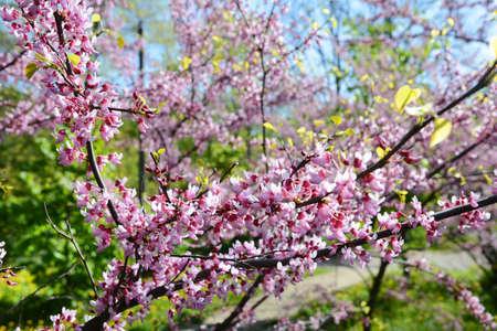 green bean: Cercis European, or European Tsertsis, or Judas tree (lat Cercis siliquastrum.) - Trees or shrubs, species of the genus Cercis the legume family (Fabaceae).
