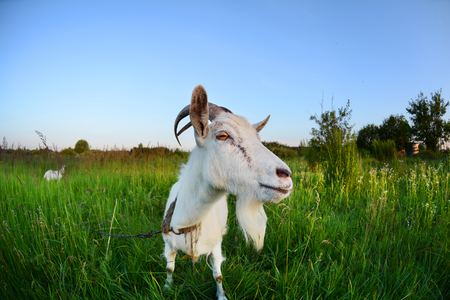 Goat in a green field. Funny Goat Photo on a fisheye lens Stock Photo