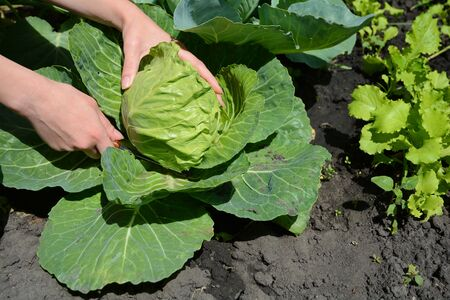 womans hand: Female harvesting a fresh cabbage. Cabbage cultivation. Picking young cabbage. Growing young cabbage in a womans hand in the garden