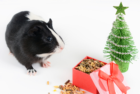 Portrait of cute guinea pig on a Christmas background. Guinea Pig Eats Vitaminized Feed. Funny New Year background. Stock Photo