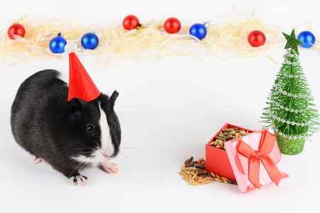 Portrait of cute guinea pig on a Christmas background. Guinea Pig Eats Vitaminized Feed. Funny New Year background. Guinea Pig with Christmas hat on white background