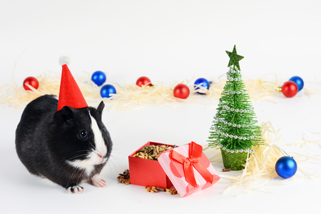 Portrait of cute guinea pig on a Christmas background. Guinea Pig with christmas hat on it. Funny New Year background. Stock Photo