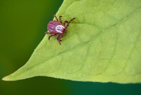 Ácaro parásito sentado sobre una hoja verde. Peligro de picadura de garrapata. Foto de archivo