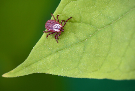 Parasite mite sitting on a green leaf. Danger of tick bite.
