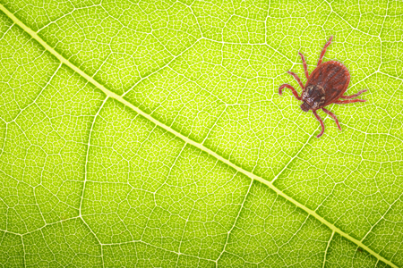 Mite sitting on a green leaf for collage with space for text . Danger of tick bite.