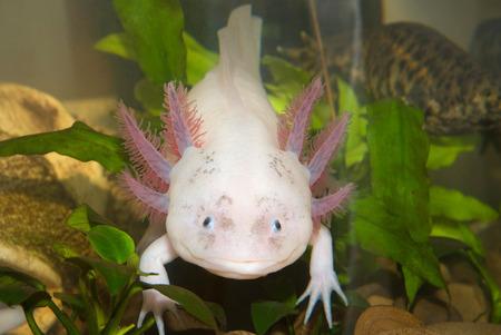 Unterwasser-Axolotl-Porträt hautnah in einem Aquarium. Mexikanische Wanderfische. Ambystoma mexicanum.