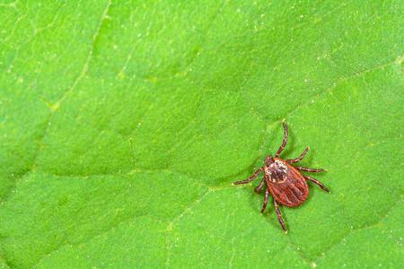 Parasite mite sitting on a green leaf. Danger of tick bite.