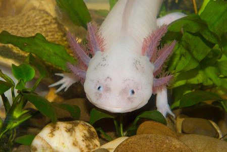 Underwater Axolotl portrait close up in an aquarium. Mexican walking fish. Ambystoma mexicanum. Stock Photo