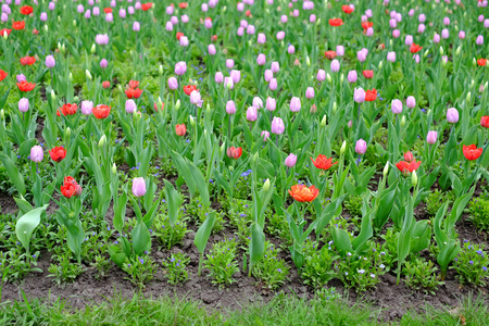 Spring background from multi-colored tulips.
