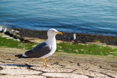 Seagull on the shore against natural blue water background a staring at the camera