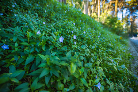 Flowers blue periwinkle carpeted on a hill in backlight (Vinca major). Springtime.