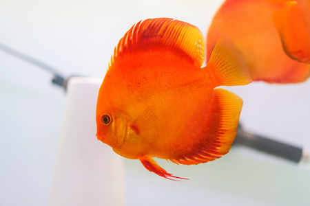 Discus (Symphysodon), red cichlid in the aquarium, the freshwater fish.