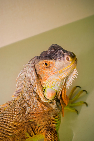 Portrait Green Iguana reptile of exotic pet that takes daily baths. Stok Fotoğraf