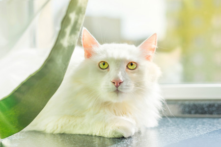 White Turkish Angora is a beautiful breed of domestic cat.