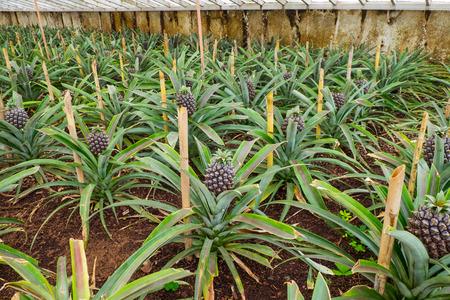 Ananasfarm mit Ananasreihen im Gewächshaus auf den Azoren.