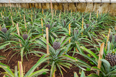 Pineapple farm with rows of pineapple in the greenhouse in Azores.
