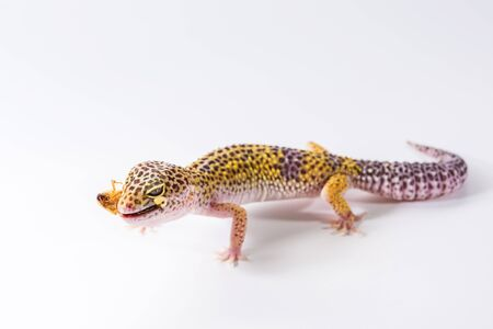 Cute leopard gecko (Eublepharis Macularius) eats cockroach on a white background.