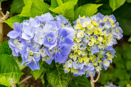 Beautiful blue hydrangeas flower grow on the Azores in Portugal.
