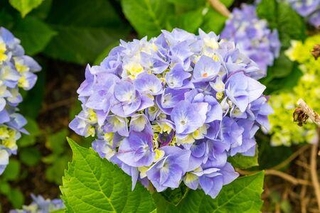 Beautiful purple hydrangeas flower grow on the Azores in Portugal.