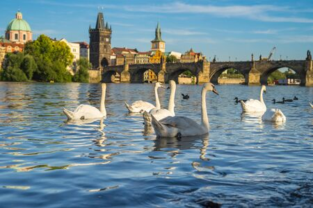 Swans on the background of the Charles Bridge.