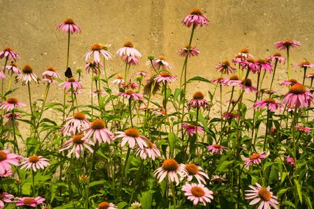Close up of pink Echinacea flowers.