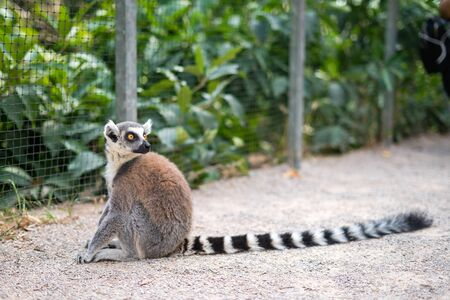 Ring-tailed lemur kept in a zoo in captivity.